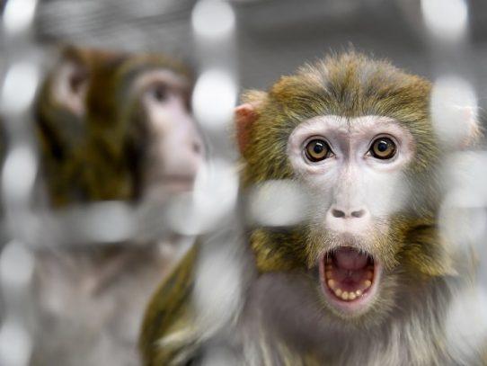 Laboratorio chino experimenta con éxito en monos una vacuna contra el coronavirus