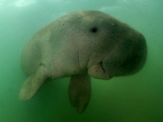 Dos dugongos nuevas estrellas en Tailandia las 24 horas gracias a redes sociales