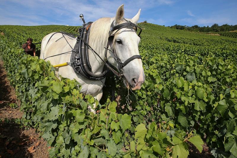Los caballos, el futuro de los viñedos ecológicos en Francia