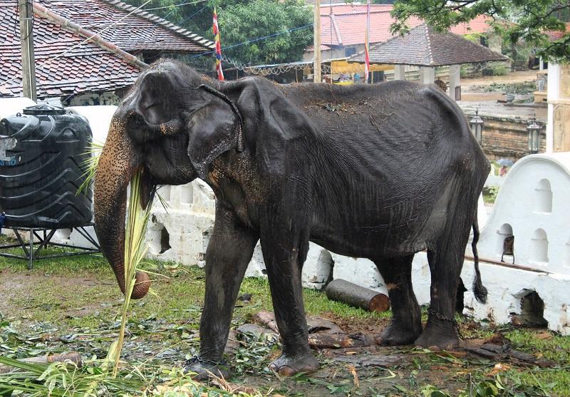 Murió Tikiri, la elefanta desnutrida que conmocionó al mundo