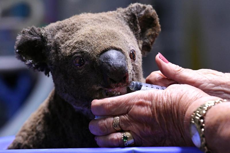Una docena de koalas de las Montañas Azules, rescatados de incendios en Australia