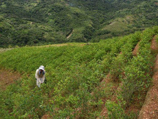 ONU detecta aumento de cultivos de coca en Bolivia y gobierno culpa a Morales