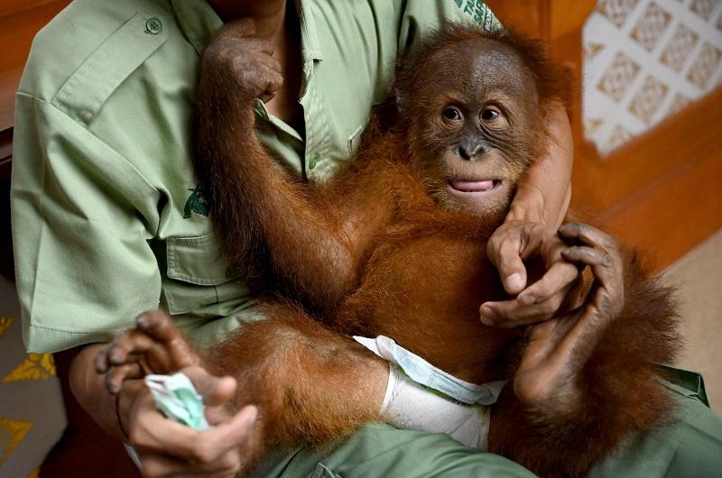 Bebé orangután hallado en una maleta en Indonesia será devuelto a la naturaleza