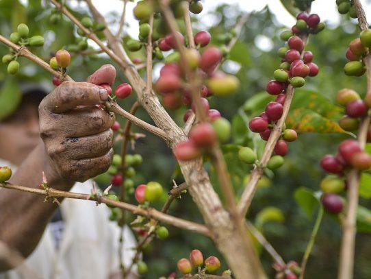 Decreto adiciona variedades de café como productos sensitivos y modificar arancel de importación