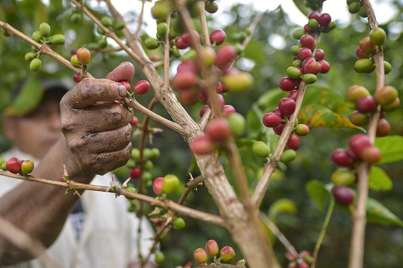 Consejo de Gabinete aprueba medidas para impulsar la producción cafetalera