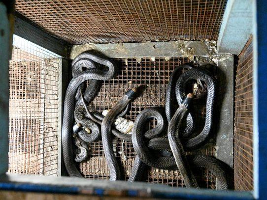 El nuevo coronavirus acaba con los criadores chinos de ratas y cobras comestibles