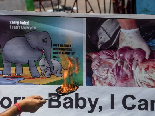 Un detenido en India por la muerte de una elefanta que comió fruta con explosivos