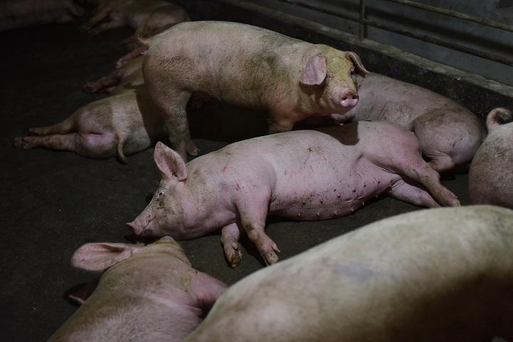 Descubren un virus de gripe porcina propicio para una nueva pandemia
