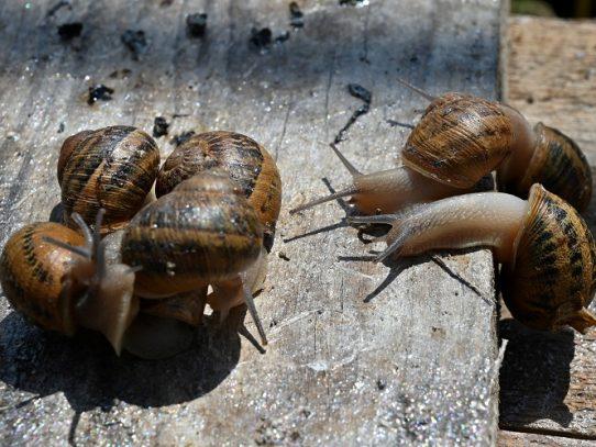En pleno boom, la crianza de caracoles ucranianos quedó detenida por la pandemia