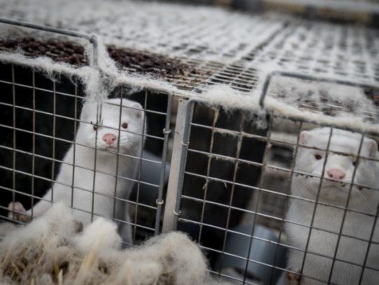 Los abrigos de pieles se ven arrastrados por la pandemia