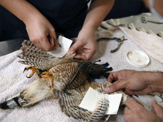 El laborioso trasplante de plumas para que vuele un gavilán en El Salvador