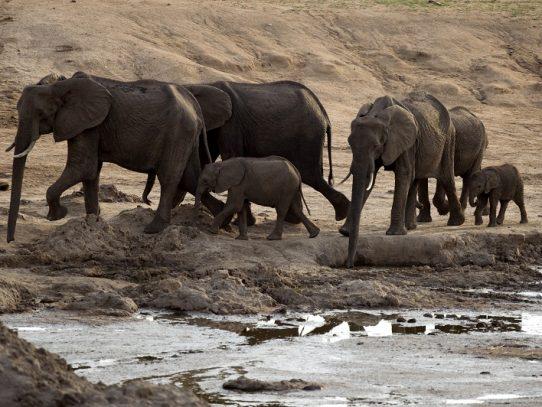 Las misteriosas muertes de elefantes en Zimbabue suben a 34