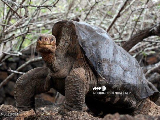 Hallan en Galápagos tortuga emparentada con la especie del Solitario George