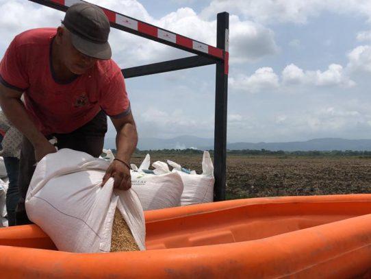 Mida proyecta siembra de 60 mil hectáreas de arroz para zafra 2021-2022