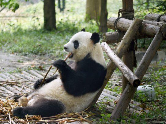 Muere el panda macho más viejo del mundo