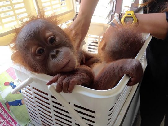 Dos crías de orangután se salvan de los traficantes vía Whatsapp