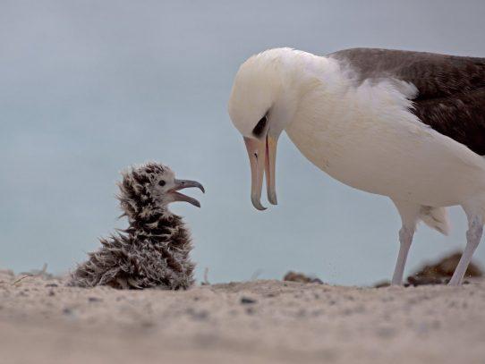 Una albatros pone un huevo a los 66 años en reserva de EEUU