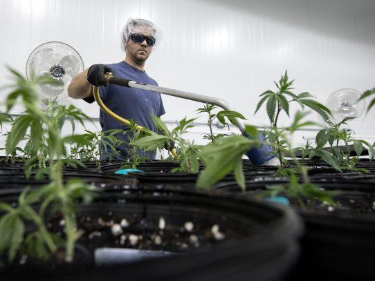 Senado mexicano aprueba uso de marihuana con fines medicinales
