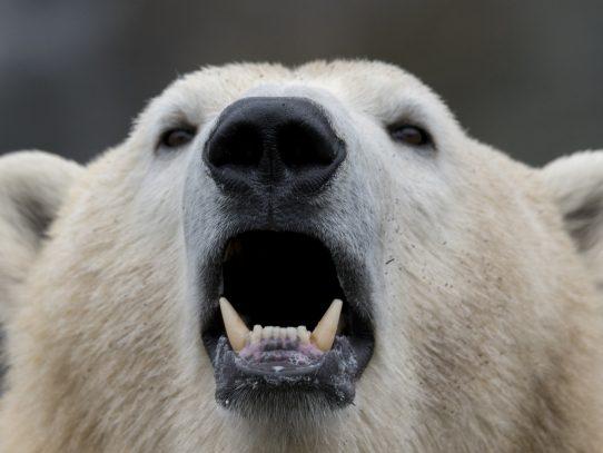 Los contaminantes químicos, otra amenaza para los osos polares