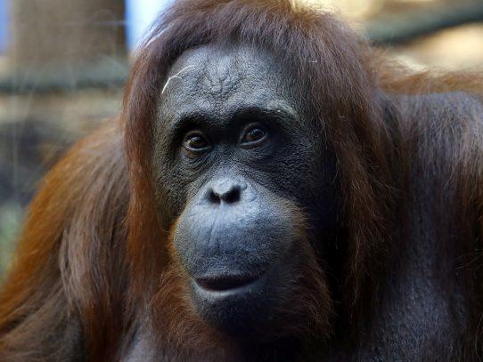 Estudio alerta sobre peligro de extinción del 60% de los primates