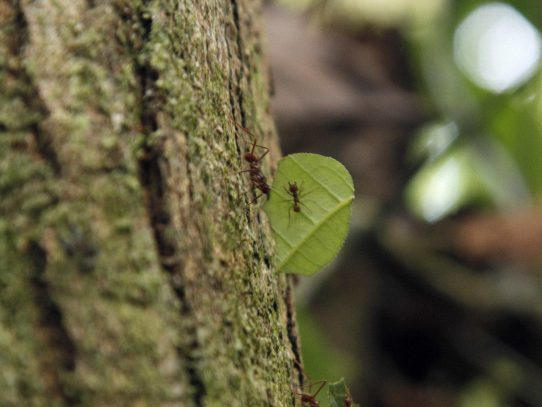 Las hormigas tienen un GPS muy sofisticado que les permite guiarse marcha atrás