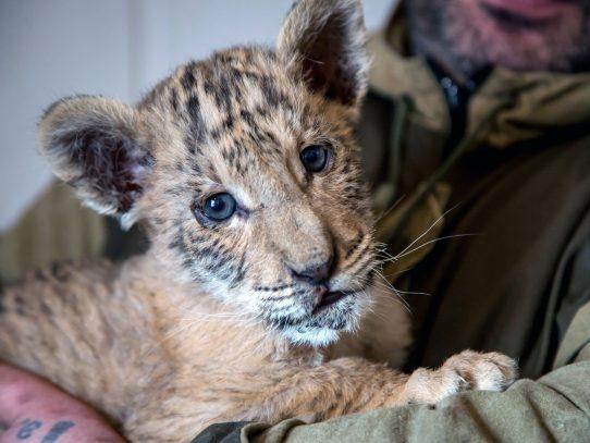 Nace un bebe ligre, un cruce entre un león y una tigresa, en un zoo de Rusia