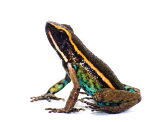 Nueva especie de rana venenosa es descubierta en Perú