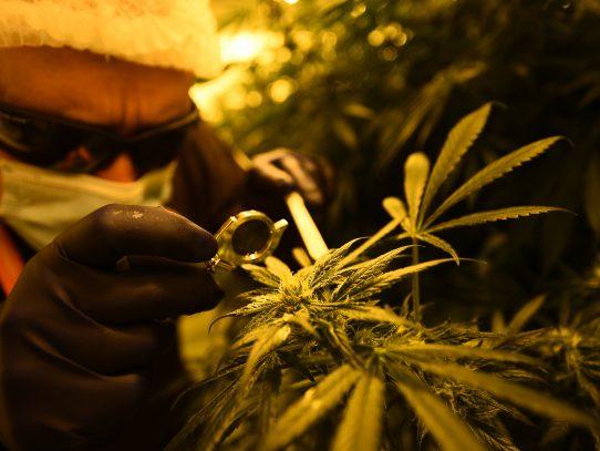 Ministro Mayo pide que no se confunda el fin medicinal del Cannabis del uso recreacional