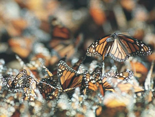 Clima extremo afecta territorio de las mariposas monarcas para hibernar