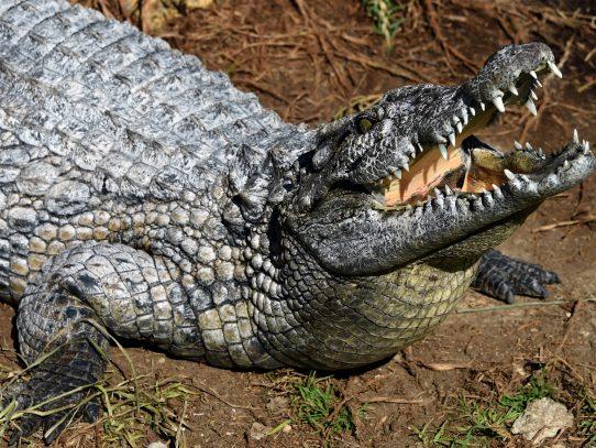 Buscan en el sureste mexicano a un cocodrilo que se llevó a un pescador