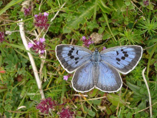 Un británico culpable de matar a dos mariposas protegidas