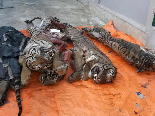 Encuentran cinco tigres congelados en Vietnam