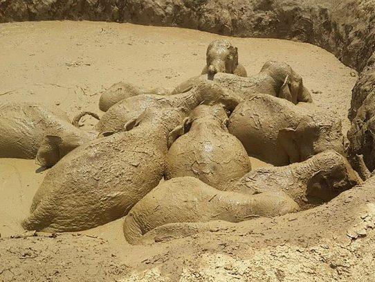 Autoridades rescatan 11 elefantes en Camboya