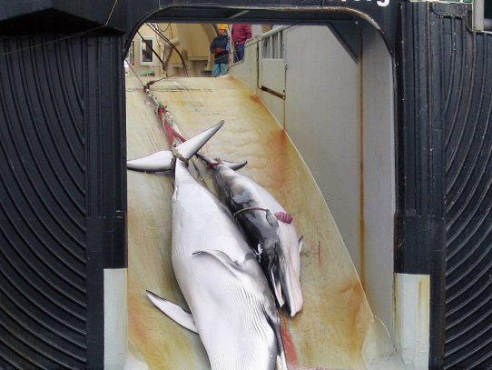 Japón mata 333 ballenas para polémica campaña