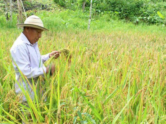 IMA desembolsa pago a productores de arroz en Coclé