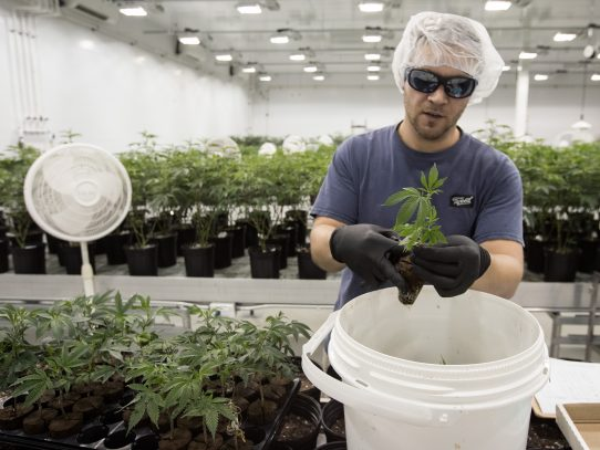 Canadá se une a los países que buscan legalizar el cannabis