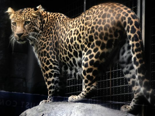 Un leopardo aterrorizó a viajeros de aeropuerto en Nepal