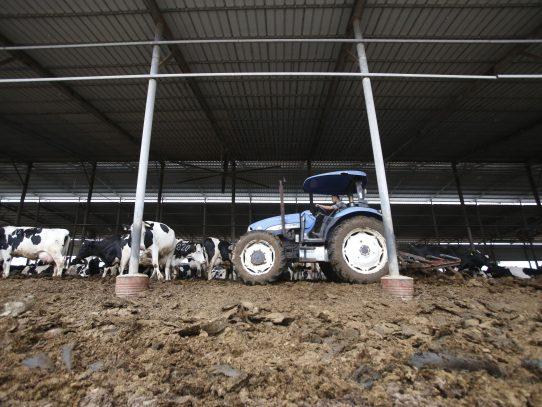 Vacas en Cisjordania son utilizadas para producir electricidad
