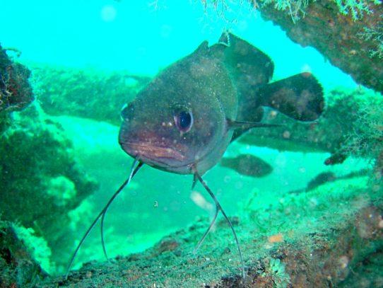 Científicos descubren primer pez cavernícola en Europa