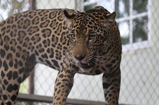 """Jaguar panameña """"Fiona"""" participará en plan de preservación en EEUU"""