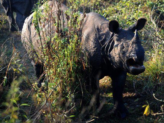 Rinocerontes luchan contra cazadores furtivos de Nepal