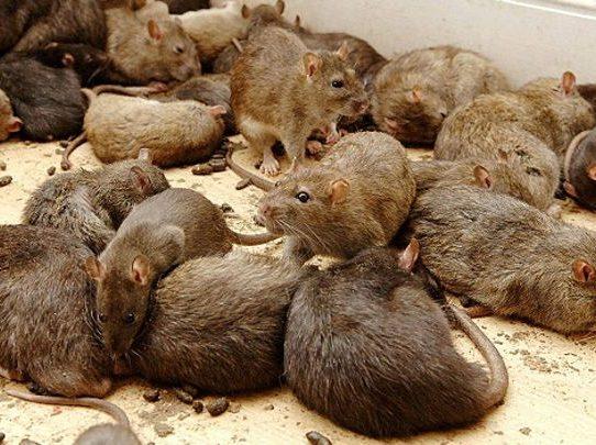 Aldeas de una isla de Birmania invadidas por miles de ratas