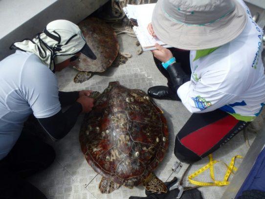 Medicamentos y herbicidas en la sangre de las tortugas de la Gran Barrera de coral