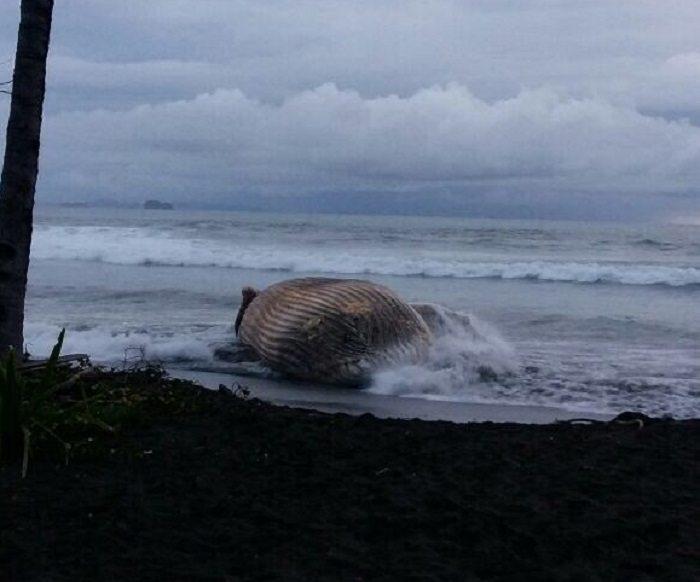 Hallan muerta ballena Jorobada en playa Morrillo, provincia de Veraguas
