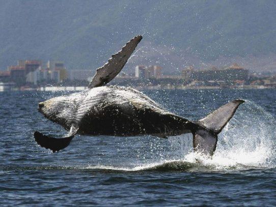 """Japón captura 177 ballenas en el Pacífico con """"fines científicos"""""""