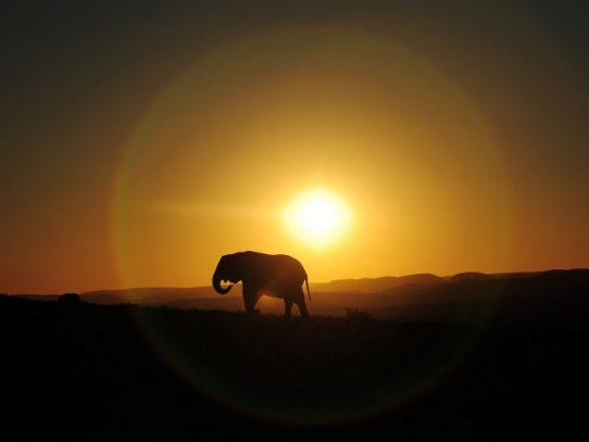 Los elefantes se vuelven noctámbulos para escapar a los cazadores furtivos