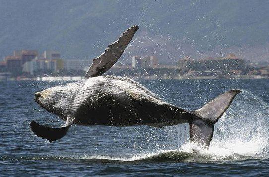 Multarán hasta con 10 mil balboas a quienes molesten a ballenas y delfines