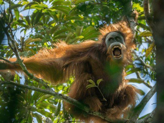 Descubren una nueva especie de orangután en Indonesia