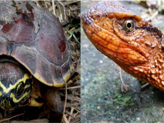 Cocodrilo lagarto y tortuga come caracoles, nuevas especies en Asia