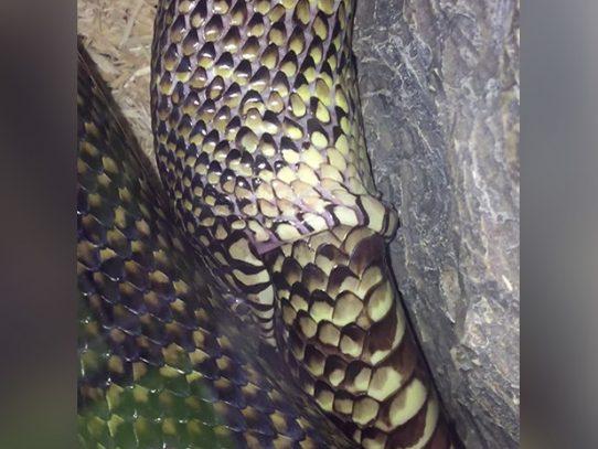 Indignación genera video de serpiente en cautiverio tratando de comerse a sí mismo